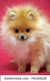 Red pomeranian dog on red background