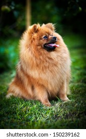 red Pomeranian puppy dog on nature