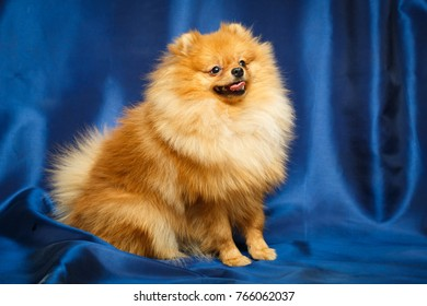 Red Pomeranian Spitz dog