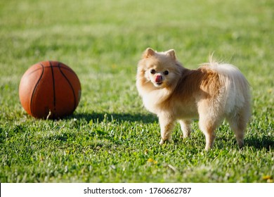 Red Pomeranian Spitz dog plays with a basketball on a green lawn. Selective focus, blurred background.