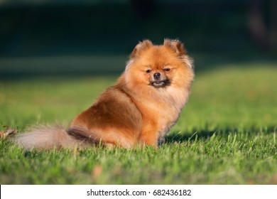 red pomeranian spitz dog portrait