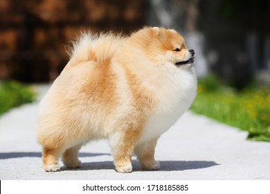 red pomeranian spitz stands on the track against a blurred background