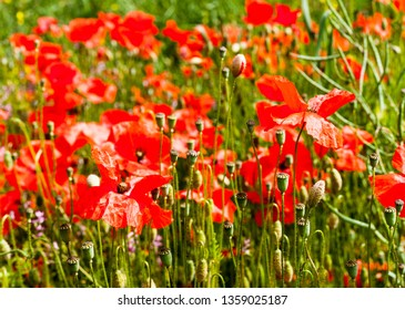 Red ponceau flowers in the green field. Nature flowers image concept in the field. Red flowers with green grass.