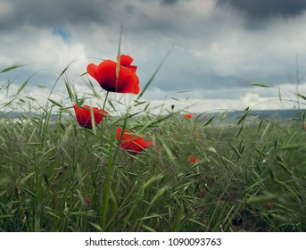 Red poppies against the backdrop of a stormy sky - Crimea, Turgenevka village