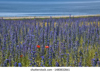 Red Poppies among blue summer flowers by the coast