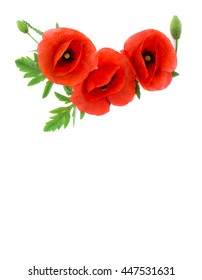 Red poppies Binomial name: Papaver rhoeas, common names: common poppy, corn poppy, corn rose, field poppy, Flanders poppy, red weed, coquelicot, headwark on white background with space for text