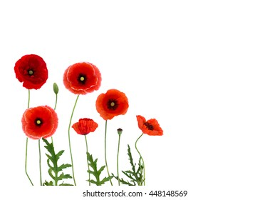 Red poppies (Binomial name: Papaver rhoeas), (common names: corn poppy, corn rose, field poppy, Flanders poppy, red weed, coquelicot, headwark) on white background with space for text. Flat lay