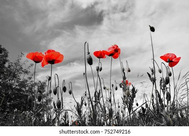 red poppies with black and white background