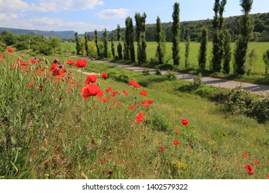 Red poppies bloom in the Crimea in spring