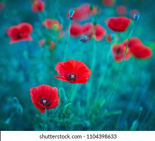 Red poppies bloom in wild field with selective focus.Creative processing in blue toned