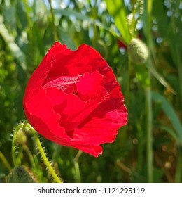 Red poppies blossom - Shutterstock ID 1121295119