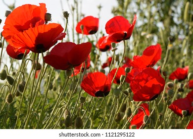 Red poppies blossom - Shutterstock ID 1121295122