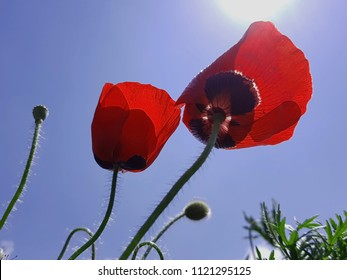 Red poppies blossom - Shutterstock ID 1121295125