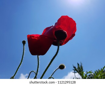 Red poppies blossom - Shutterstock ID 1121295128