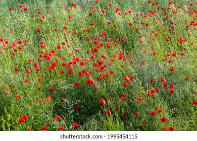 Red poppies and blue cornflowers on the edge of the field