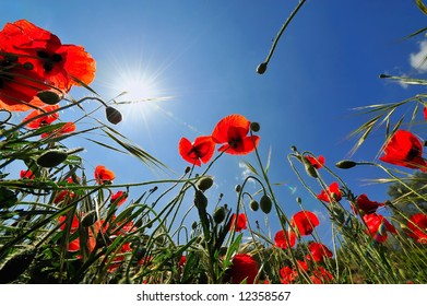 red poppies and the blue sky as background