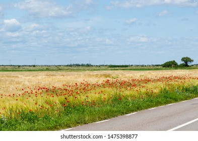 Red poppies by road side in a plain landscape at the island Oland in Sweden
