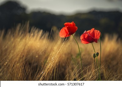 Red poppies catching the last golden sunlight in a wheat field