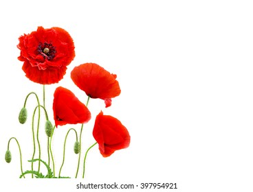 Red poppies (common names: common poppy, corn poppy, corn rose, field poppy, Flanders poppy, red poppy, red weed, coquelicot) on white background with space for text.