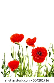Red poppies (common poppy, corn poppy, corn rose, field poppy, Flanders poppy,  red weed, coquelicot) on white background