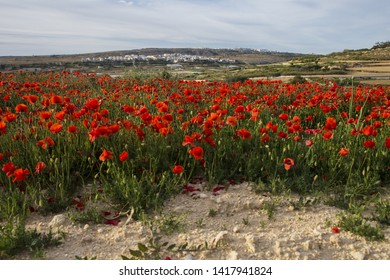 Red poppies, corn poppies,  Papaver rhoeas forming a band in a fallow field at sunset under a a patchily overcast sky. Malta, Mediterranean