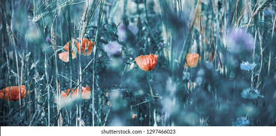 Red poppies, cornflowers and wheat spikes. Fragile nature concept. Retro moody background. Selective focus and blur. Vintage style blue toned postcard.