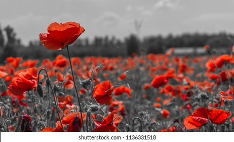 Red poppies in a poppies field - desaturated background