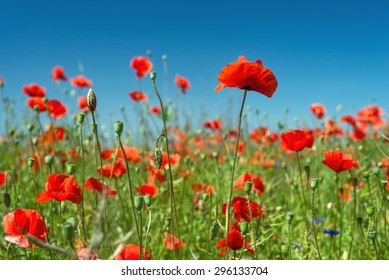 Red poppies field  in the sky