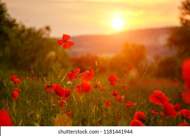 red poppies in the field in the sunset.