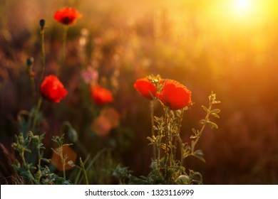 red poppies in the field at sunset
