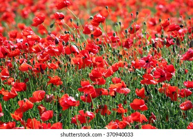 red poppies flower landscape spring season