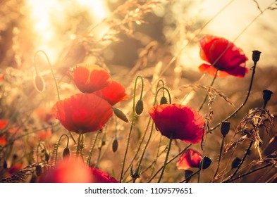 Red poppies flowers, blooming in sunlight