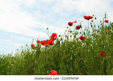 Red poppies in a green field