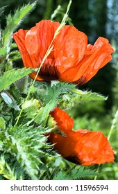 Red poppies and green grass. Garden