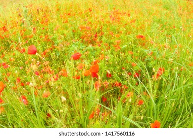 Red poppies grow on a green meadow.
