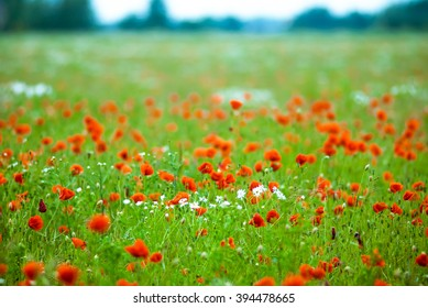 Red poppies are growing in a canola field.