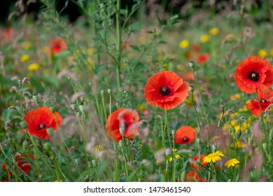 Red poppies growing in a field of colourful wild flowers surrounded by trees, photographed in early morning in Gunnersbury, West London UK.