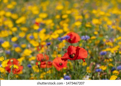 Red poppies growing in a field of colourful wild flowers, photographed in the early morning sun in Gunnersbury, West London UK.