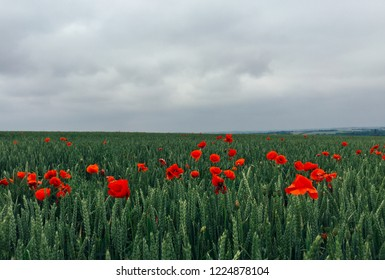 Red poppies growing in a field in France