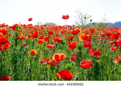 Red poppies growing in a green field