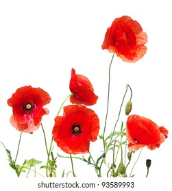 red poppies isolated on white