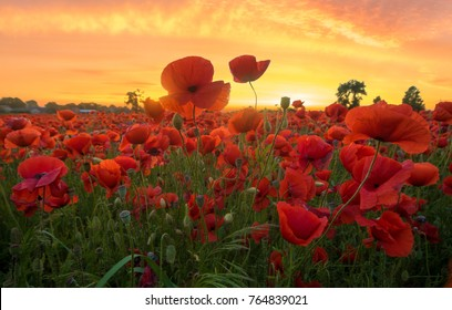 red poppies in the light of the setting sun