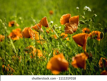 red poppies in the meadow