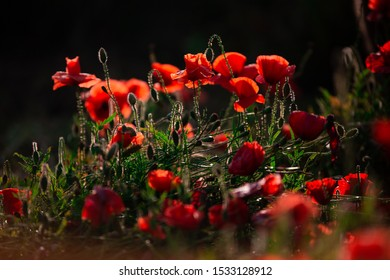 Red poppies in the meadow. photo with low depth of field