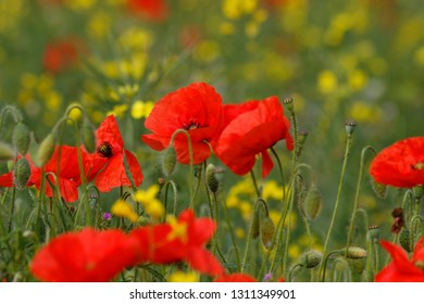 Red poppies mingle with rapeseed plants  in a field in Hampshire