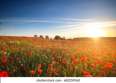 Red poppies in the morning meadow, Polish summer on Mazury lakes