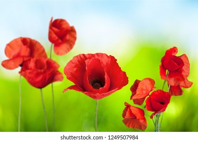 Red Poppies on bokeh background