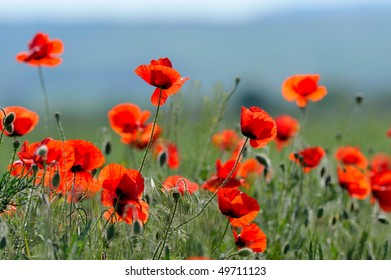 red poppies on cereal field