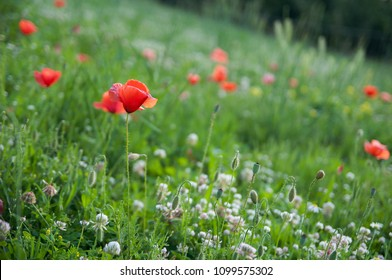 red poppies on a meadow among green grass and flowering clover