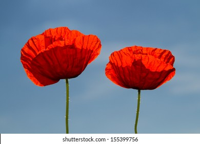 Red poppies on spring meadow,
